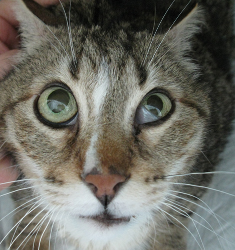 Cat With Horner S Syndrome