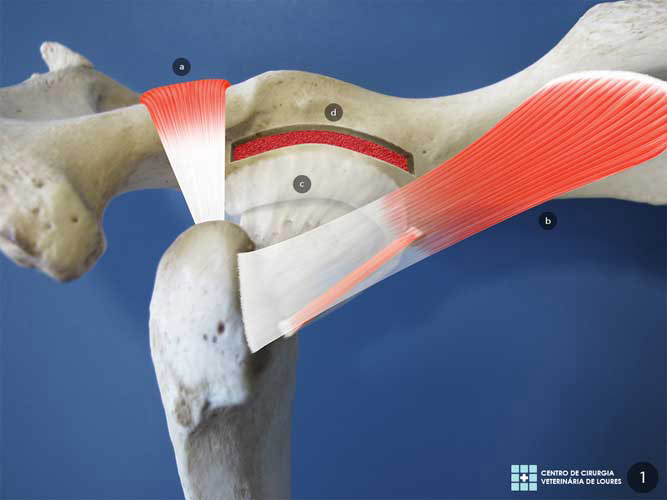 Técnica modificada da Plastia do Bordo Acetabular Dorsal de Slocum